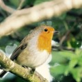 The Robins Are Back!