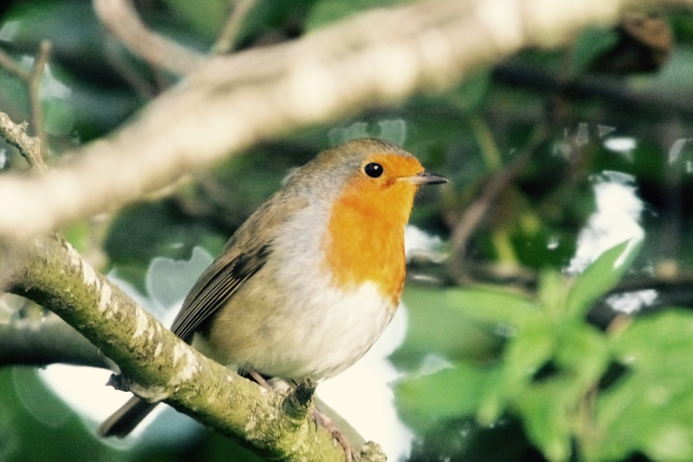 The robins are back